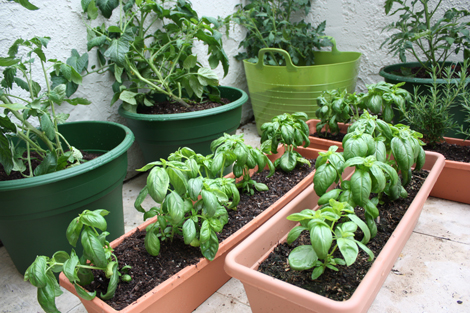 Wonderful Moving The Tomato Plants Meant I Had More Space To Spread Out The Basil  Which Is Doing Really Well. Everyone Asks Why We Have So Many Basil Plants  And The ...