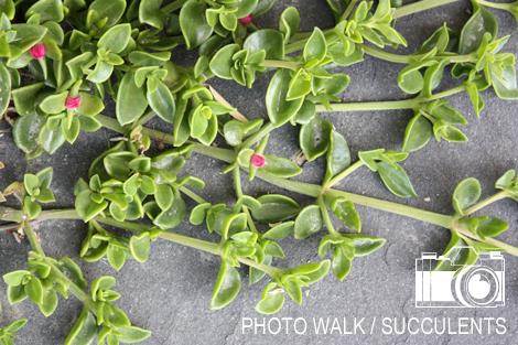 Succulentstitle