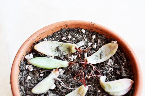 Succulent4c