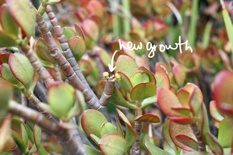Jadegrowth2