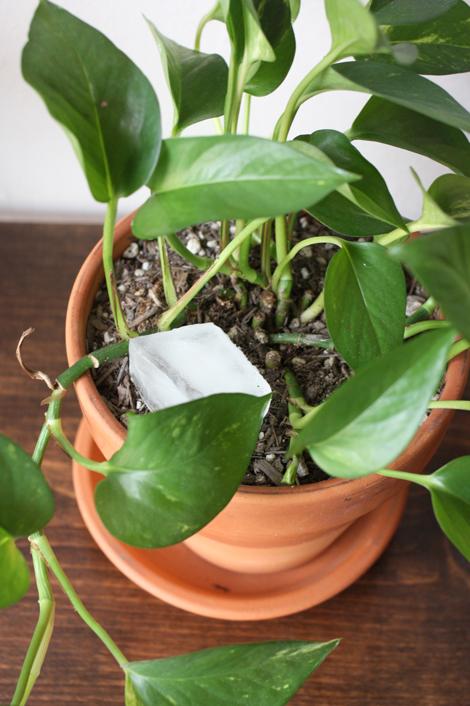 Wateringplantswithice